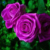 Rose of Sharon Beautiful Purple Rose Colors Flower 1000 Seeds Home Decoration #5749