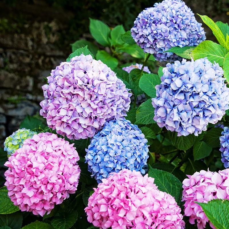 Promoci n de japon s hortensias compra japon s - Semillas de hortensias ...