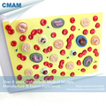 CMAM HEART18 Human Educational Blood Cell Model Medical Science Blood Cell Model