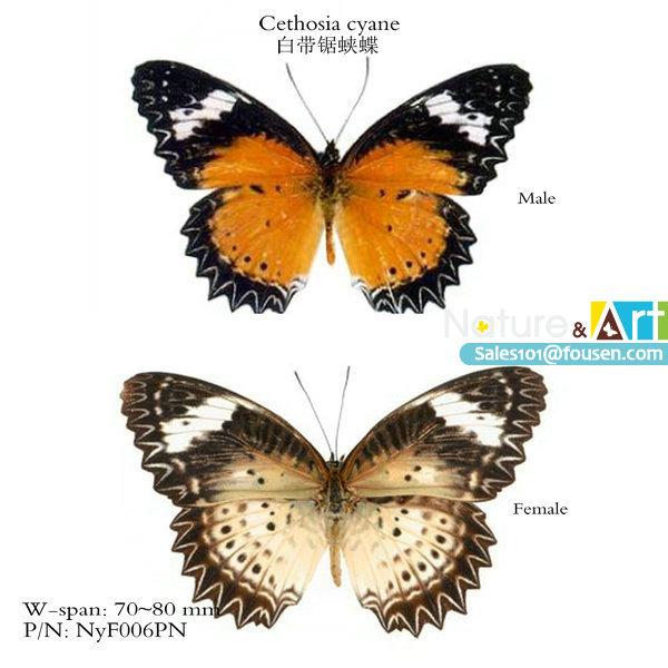 FOUSEN Nature&Art Cethosia cyane Parantica sita triangle paper bag insect(China (Mainland))