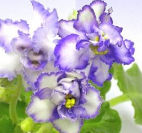 Карликовое дерево Leean ly2015, 100 /16kinds flower seeds карликовое дерево flower seeds 100 multi butterfly