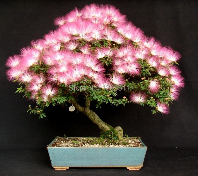10 pieces bonsai Albizia Flower seeds called Mimosa Silk Tree seeds for flower potted plants free