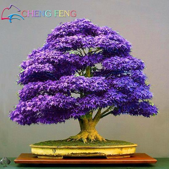 Mini Beautiful Japanese Purple Maple Bonsai Seeds DIY