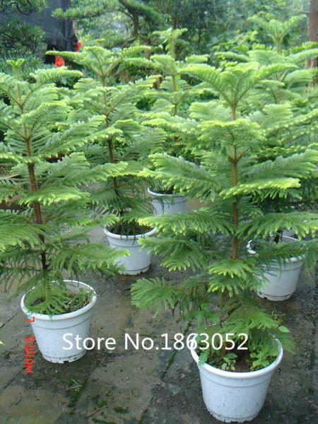 Bonsai tipo compra lotes baratos de bonsai tipo de china - Araucaria plante d interieur ...