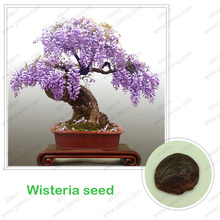 Wisteria seeds, bonsai Wisteria sinensis tree 100% true seed in-kind shooting, 10 pcs / bag