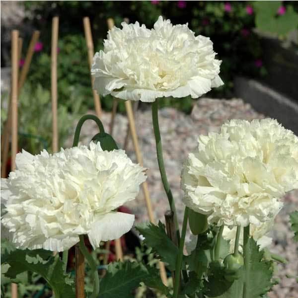 ChinaStock 10PCS Papaver Rhoeas Europe White Corn Poppy Flower Seeds(China (Mainland))