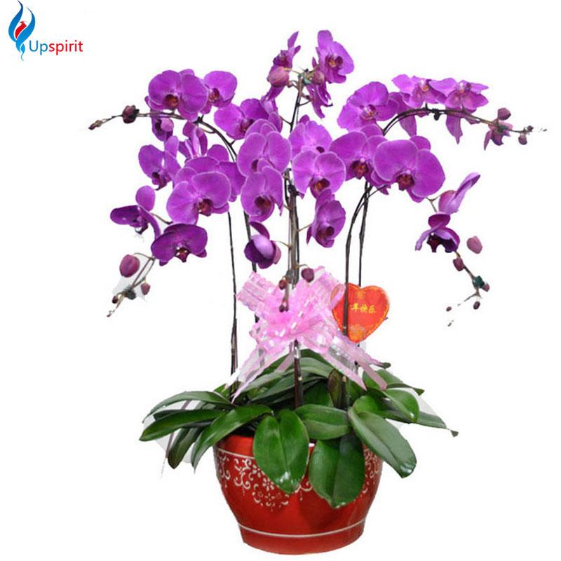 New 5 Pack Phalaenopsis Flower / Rainbow Rose / Giant Onion / Gardenia Different Varieties To Choose Home Garden Decoration(China (Mainland))