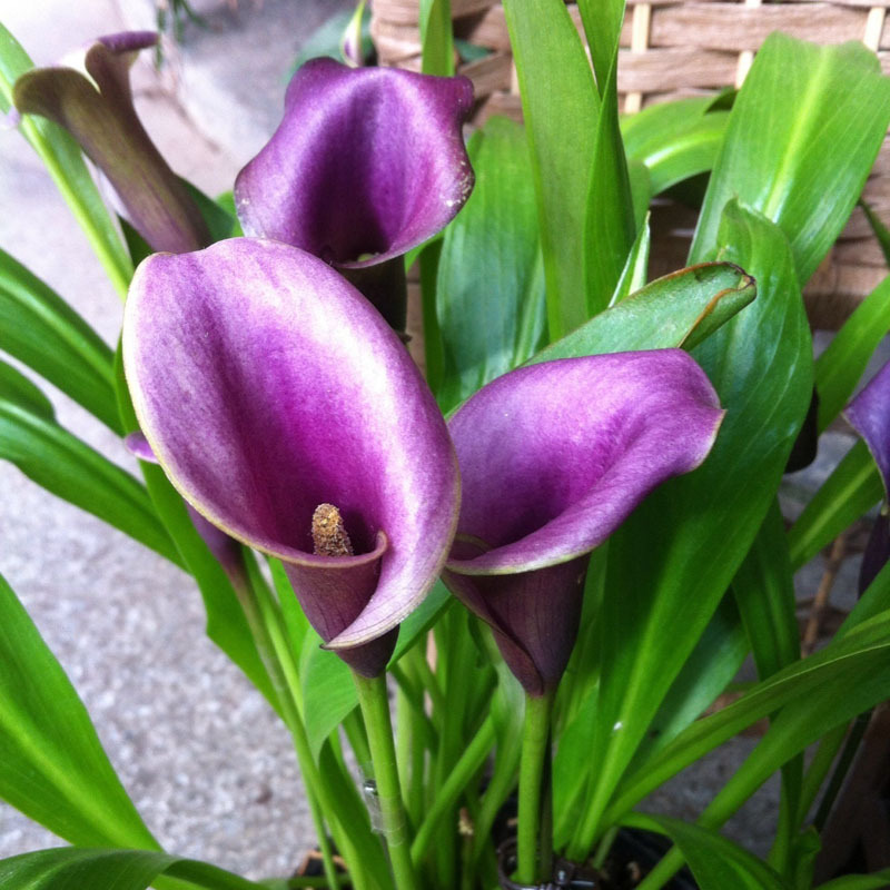 purple lily flower plant - photo #6