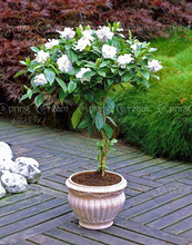 10pcs/bag Jasmine seeds, jasmine plant, Molly bonsai flower seeds Pure white jasmine sambac potted for home garden plant(China (Mainland))