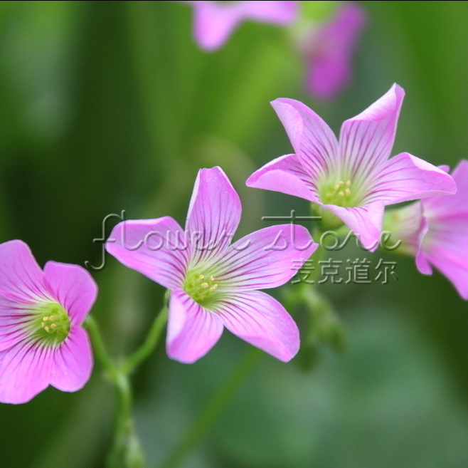 "400 Attractive Impressive Wildflower ""Low Growing"" Seeds fragrant & Easy To Grow Free Shipping(China (Mainland))"