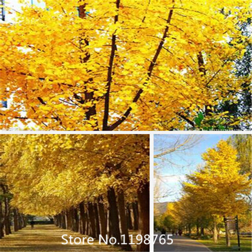 2015 Hot New Home Garden Plant 20 Seeds Ginkgo seeds biloba, Maidenhair Tree, Seeds (Fall Colors) Seeds Free Shipping(China (Mainland))