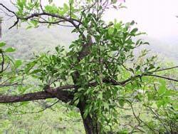 1000g 10:1 parasitic loranthus extract loranthus parasiticus extract  Taxilli extract  Taxillus extract