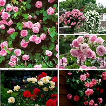 Rose seeds Climbing Plants Polyantha rose Chi...
