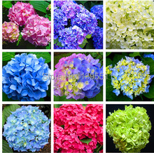 Free shipping 9 kind rare Flower seeds 20/bag purple Hydrangea Viburnum macrocephalum seed  flower pot planters