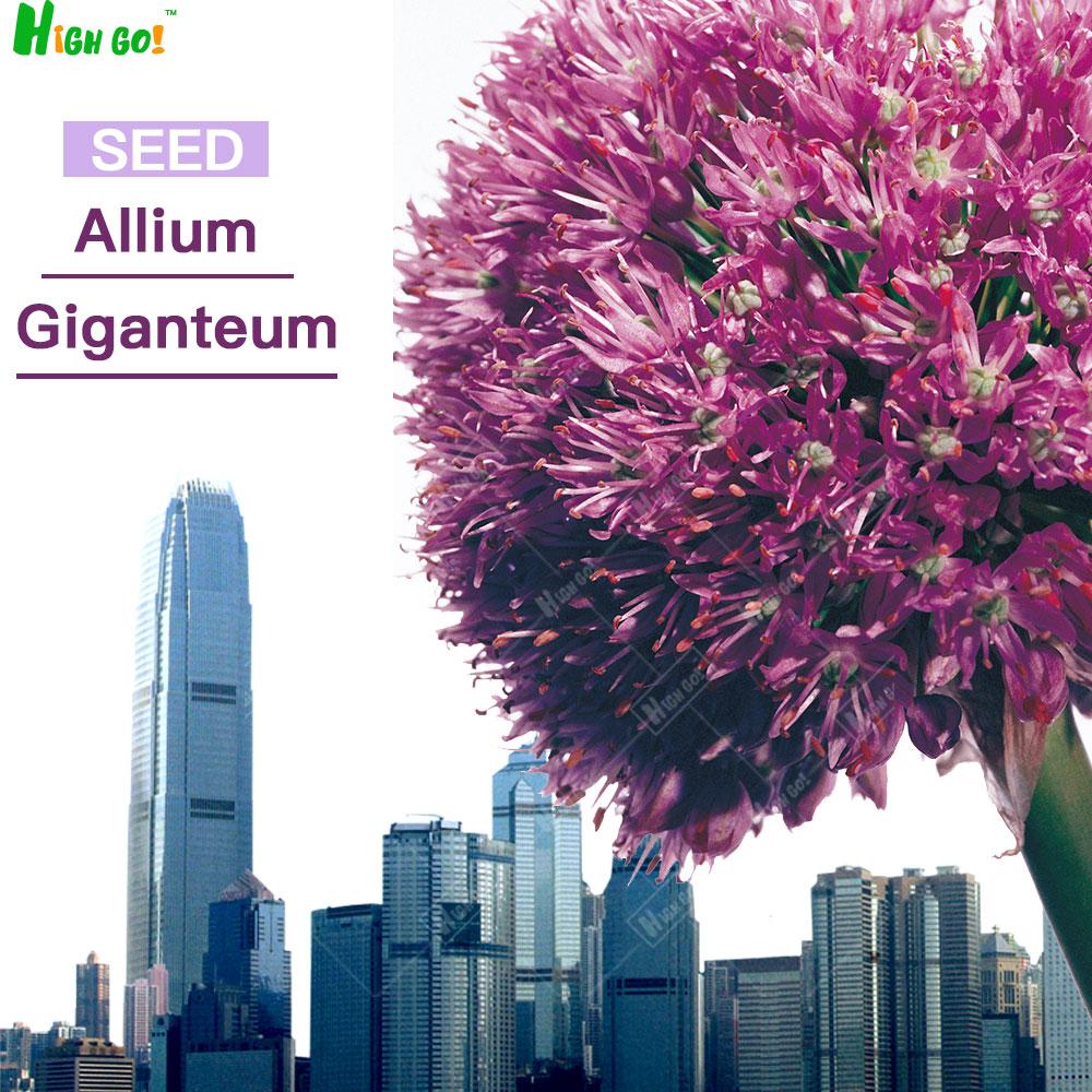 Rushed sales!!!!! Rare purple onion bonsai plant seeds, Easy to grow flowers, mini botanical garden,garden supplies,outdoor(China (Mainland))