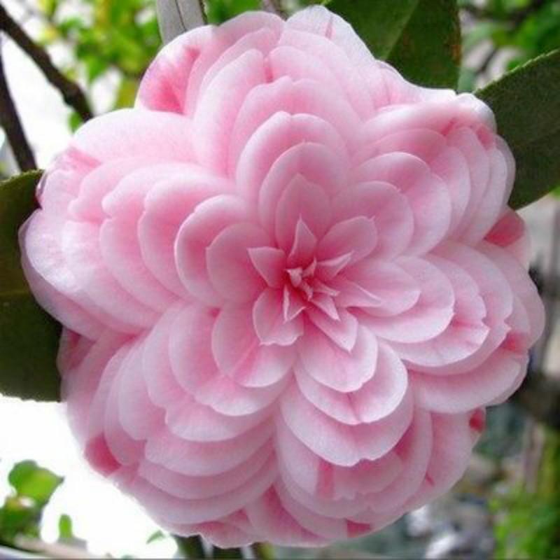 product 50 pieces/bagCamellia seeds Camellia flowers seeds 24kinds color for chose Free Shipping