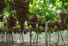 Buy New Home Garden Plant 30 Seeds Rare Giant Red Grapes Fruit Seeds Free for $1.19 in AliExpress store