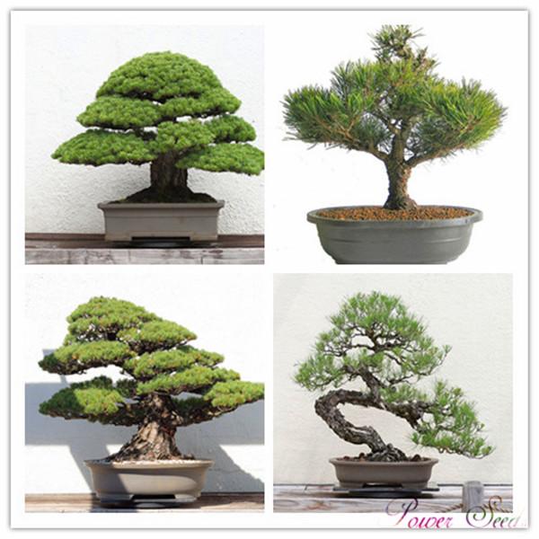 achetez en gros bonsa pin en ligne des grossistes bonsa pin chinois. Black Bedroom Furniture Sets. Home Design Ideas