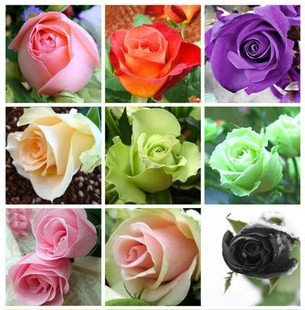 1200 Rose seeds multicolor roses romantic plant gardeninghigh germination rate