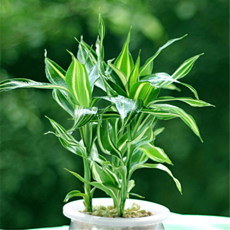 Big Promotion!Rare Silver Heart Lucky Bamboo Seeds Absorb Dust Tree Seeds Anti Radiation Dracaena Home Garden,100 Seed/Pack,#91Q(China (Mainland))