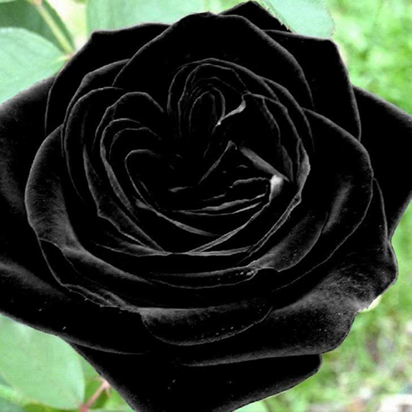 20 heirloom blooming black rose seeds perennial plant free for How to make black roses