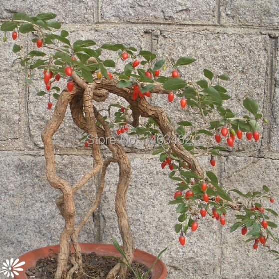 Goji Berry Chinese Wolfberry Seed Vegetable Seeds Herbs Seed Potted Plants Ho