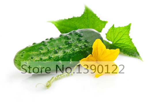 50 japan mini cucumber seeds ORZEL extremely early Polish variety for open soil growing vegetable seeds
