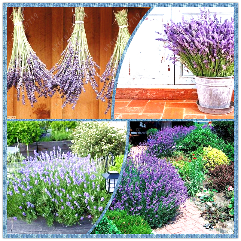 Online buy wholesale growing lavender from china growing lavender wholesalers - Growing lavender pot ...