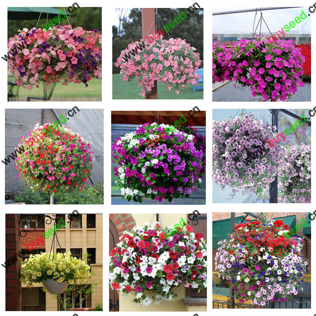 free shipping For dec hanging petunia Red pink rosy red blue green black purple yellow balcony flower seeds - 200 pcs(China (Mainland))
