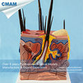 CMAM A10 Dog Skin Pathological Anatomical Models for veterinarian s reference