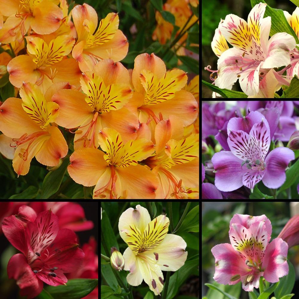 achetez en gros alstroemeria fleurs en ligne des grossistes alstroemeria fleurs chinois. Black Bedroom Furniture Sets. Home Design Ideas