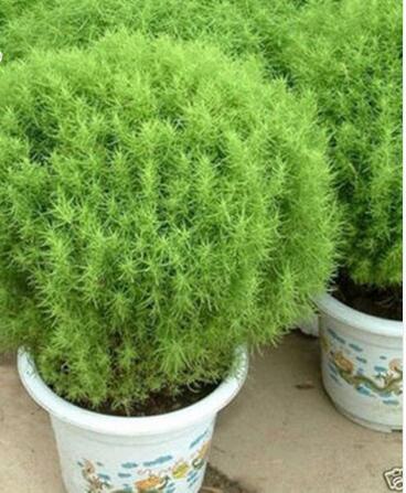 Promoci n de arbusto de jard n compra arbusto de jard n for Arbustos decorativos