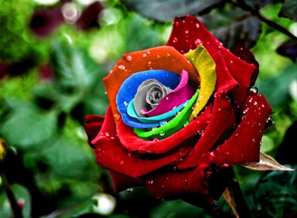 200 Piece Dreams Rainbow Rose seeds , Sofiat Lincoln Flower Seeds - ALI-Express No.1 store