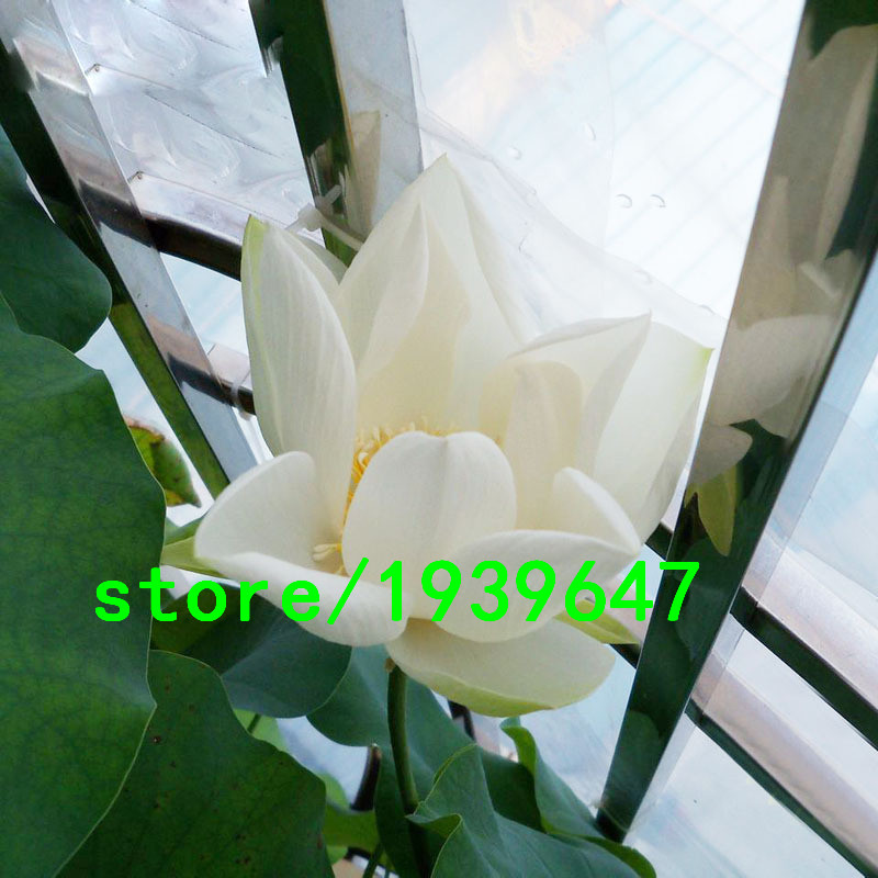 Lotus seeds for sale promotion shop for promotional lotus for Lotus plant for sale