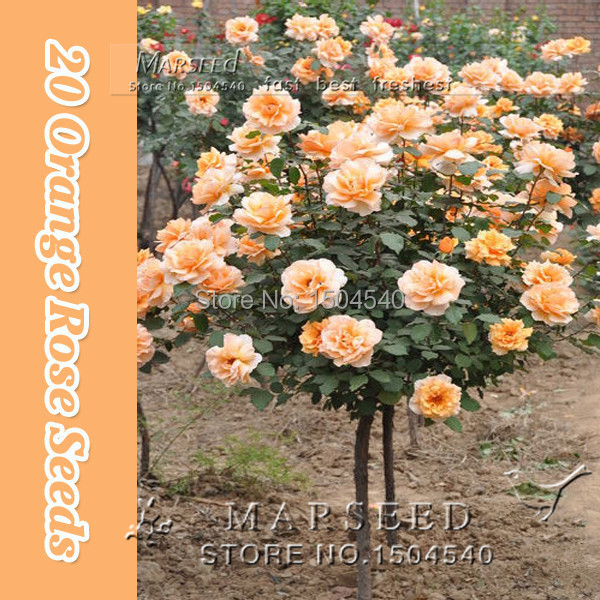 50 Orange Rose Tree Seeds , rare color, gorgeous, pleasant-smelling fragrant Free Shipping(China (Mainland))