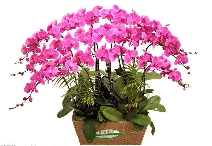 Phalaenopsis Seeds bonsai balcony flower orchid seeds bundle 200 pcs Phalaenopsis Orchids seeds
