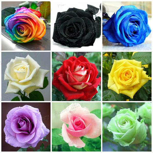 Acheter livraison gratuite 1800 graines for How to dye roses black
