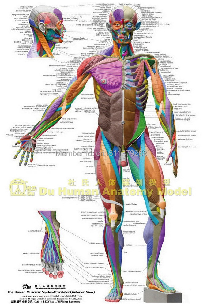 Anatomy muscular system