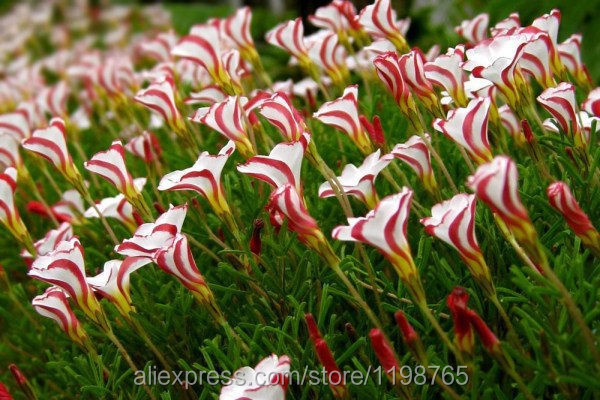 Free-shipping-Oxalis-versicolor-flowers-seeds-50PCS-World-s-Rare-Flowers-For-Garden-home-planting-O (2)