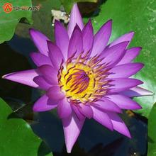 Purple Bowl Lotus Flowers Seeds Water Lily Plants Bonsai Flower 20 Particles / lot - Gardens store