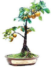 Buy Free Shipping Home Garden bonsai Plant 20 Seeds pear tree fruit Seed for $1.20 in AliExpress store