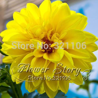 30 seeds/lot Dahlia seed.Beautiful flower. Easy to grow.DIY home garden plant.A202(China (Mainland))