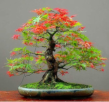 Free Shipping 30pcs/pack Maple Feathers Seeds Bonsai Seeds The Budding Rate 90% Bonsai Tree Seeds DIY Potted Plant(China (Mainland))
