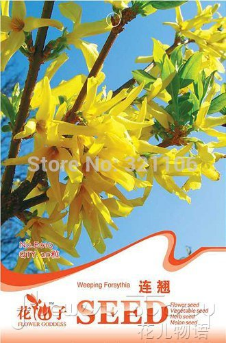 1 Pack 20 Seeds Chinese Traditional Good Effect Herb Weeping Forsythia E010(China (Mainland))