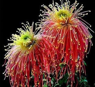 30 pcs/bag, Rainbow Chrysanthemum Flower Seeds, rare color ,new arrival DIY Home Garden flower plant(China (Mainland))(China (Mainland))