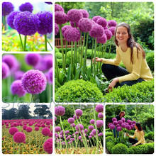 50pcs Purple Giant Allium Giganteum GLOBEMASTER Beautiful Flower Seeds the Budding Rate 95% Garden Plant For Kids Gift(China (Mainland))