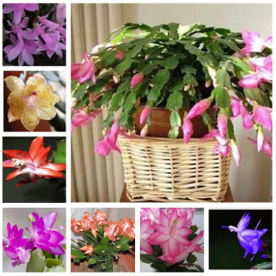 free shipping Zygocactus truncatus,Schlumbergera seeds,Indoor potted plants, green plants - 100 pcs seeds(China (Mainland))