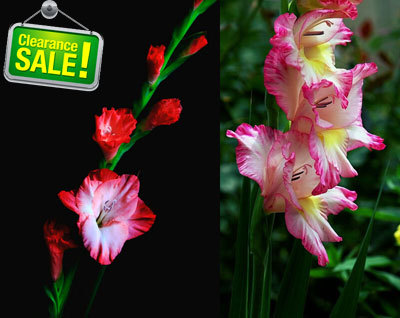 Gladiolus, Gladiolus seeds, gladiolus flower seeds, new potted seed ,not the gladiolus bulbs - 100 pcs/bag(China (Mainland))