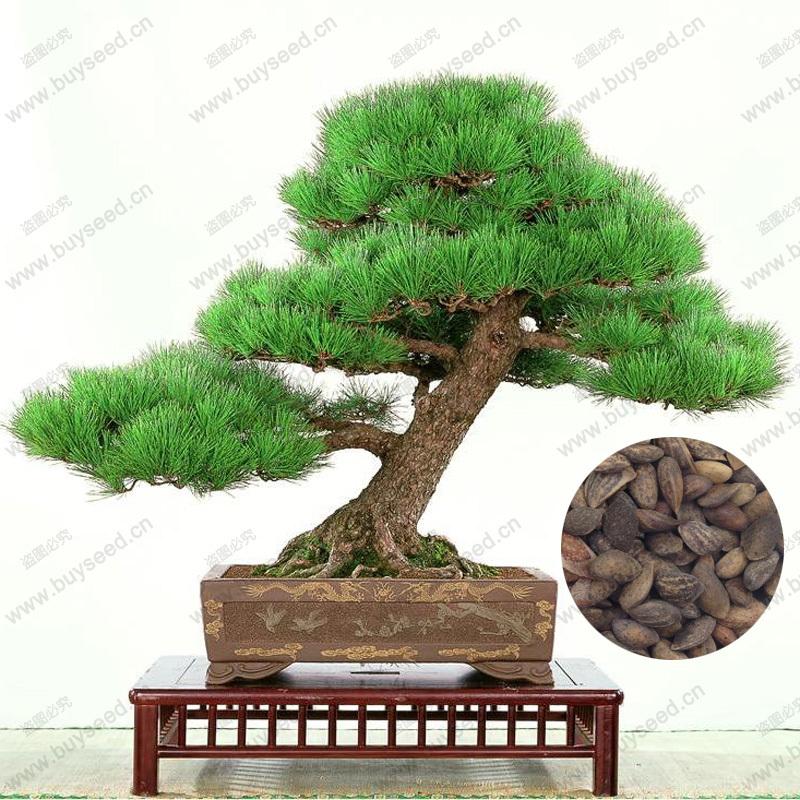 ingrosso di alta qualit bonsai da interno semi di albero