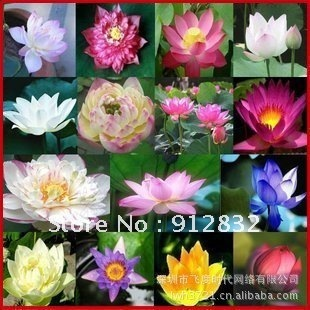 Freeshipping 200pcs seeds/lot lotus flower seeds mini bonsai and home garden plants DIY home and garden decoration wholesale